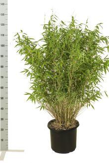 Fargesia 'Jumbo' Pot 80-100 cm