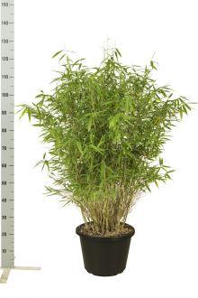 Fargesia 'Jumbo' Pot 100-125 cm