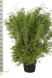 Fargesia 'Jumbo' Pot 125-150 cm