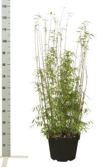 Fargesia jiuzhaigou Pot 80-100 cm