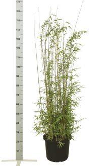 Fargesia jiuzhaigou Pot 100-125 cm