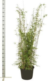 Fargesia jiuzhaigou Pot 125-150 cm