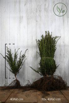 Taxus baccata Blote wortel 40-60 cm Extra kwaliteit