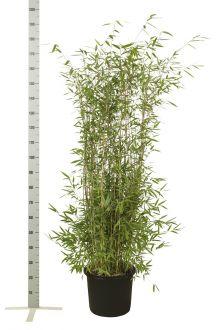 Fargesia nitida Pot 125-150 cm