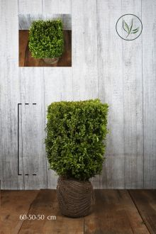 Buxus - Kubussen Kant-en-klaar Hagen 60h x 50 x 50 cm Kant-en-klaar Hagen