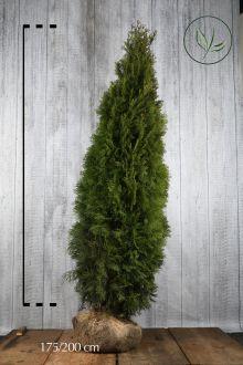 Westerse Levensboom 'Smaragd' Kluit 175-200 cm Extra kwaliteit