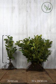 Laurier 'Novita' Blote wortel 20-30 cm
