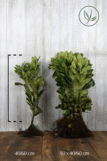 Laurier 'Novita' Blote wortel 40-60 cm Extra kwaliteit