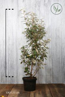 Olijfwilg, Zilverbes Pot 100-125 cm