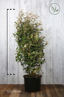 Olijfwilg, Zilverbes Pot 125-150 cm