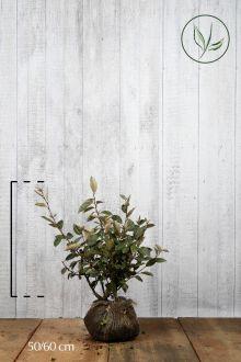 Olijfwilg, Zilverbes Kluit 50-60 cm