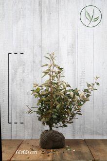 Olijfwilg, Zilverbes Kluit 60-80 cm