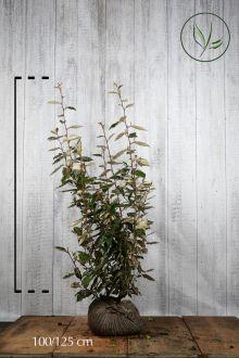Olijfwilg, Zilverbes Kluit 100-125 cm