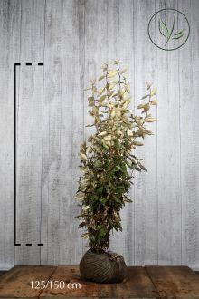 Olijfwilg, Zilverbes Kluit 125-150 cm