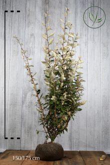 Olijfwilg, Zilverbes Kluit 150-175 cm