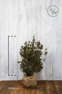Schijnhulst 'heterophyllus' Kluit 50-60 cm