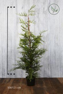 Gele Leylandii conifeer Pot 100-125 cm