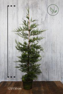 Gele Leylandii conifeer Pot 125-150 cm