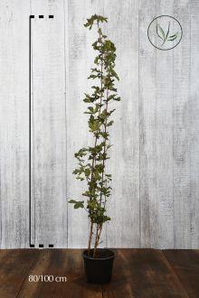 Veldesdoorn of Spaanse Aak Pot 80-100 cm