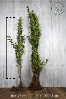 Haagliguster Blote wortel 100-125 cm