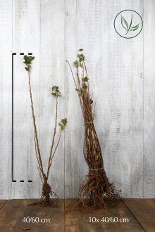 Ribes 'King Edward VII' Blote wortel 40-60 cm