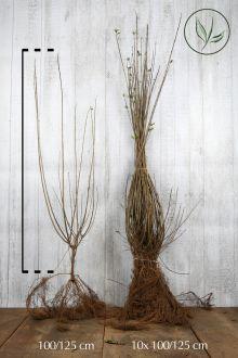 Wintergroene Liguster 'Atrovirens' Blote wortel 100-125 cm