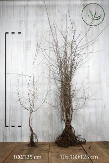 Sleedoorn Blote wortel 100-125 cm