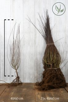 Bittere wilg (Purperwilg) Blote wortel 40-60 cm