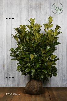 Laurier 'Rotundifolia'  Kluit 125-150 cm Extra kwaliteit
