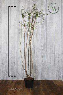 Wintergroene Liguster 'Atrovirens' Pot 100-120 cm Extra kwaliteit