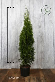 Westerse Levensboom 'Smaragd' Pot 100-125 cm Extra kwaliteit