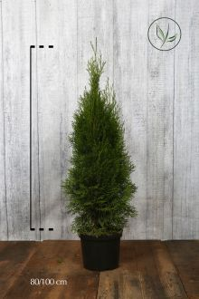 Westerse Levensboom 'Smaragd' Pot 80-100 cm Extra kwaliteit