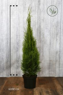 Westerse Levensboom 'Smaragd' Pot 60-80 cm Extra kwaliteit