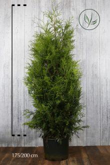 Westerse Levensboom 'Brabant' Pot 175-200 cm Extra kwaliteit