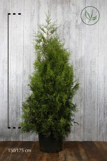 Westerse Levensboom 'Brabant' Pot 150-175 cm Extra kwaliteit