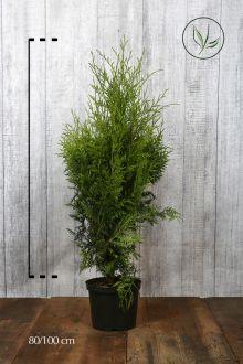 Westerse Levensboom 'Brabant' Pot 80-100 cm Extra kwaliteit