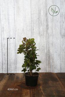 Veldesdoorn of Spaanse Aak Pot 40-60 cm