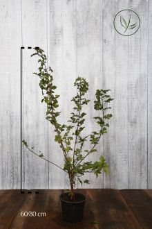 Veldesdoorn of Spaanse Aak Pot 60-80 cm