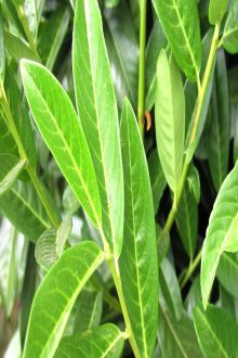 Laurier 'Genolia'® Blote wortel 40-60 cm