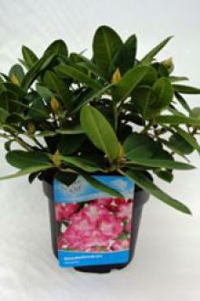 Rhododendron 'Germania'  Pot 40-50 cm Extra kwaliteit
