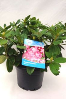 Rhododendron 'Germania'  Pot 60-70 cm Extra kwaliteit