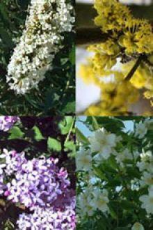 Hoge bloeiende haag 2 Blote Wortel 30-60 cm