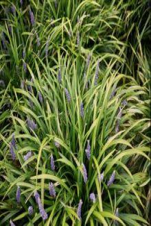 Leliegras 'Ingwersen' pot 20-25 cm