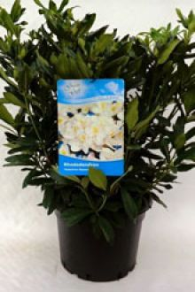 Rhododendron 'Madame Masson'  Pot 60-70 cm Extra kwaliteit