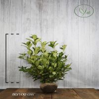 Laurier 'Rotundifolia'  Kluit 80-100 cm Extra kwaliteit
