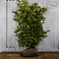 Laurier 'Rotundifolia'  Kluit 150-175 cm Extra kwaliteit