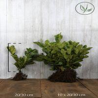 Laurier 'Rotundifolia'  Blote wortel 20-30 cm