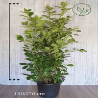 Laurier 'Rotundifolia'  Pot 150-175 cm