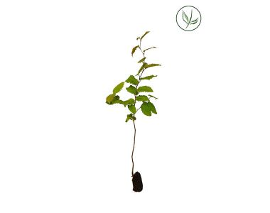 Haagbeuk Plugplanten 20-40 cm Extra kwaliteit