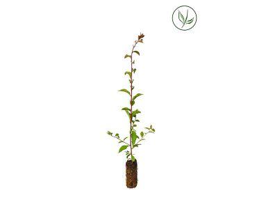 Sleedoorn Plugplanten 40-60 cm Extra kwaliteit